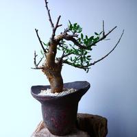 コミフォラ フォリアセア  Commiphora foliacea   No.050