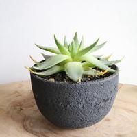 アロエ ポリフィラ   no.002   Aloe polyphylla