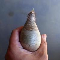 パキポディウム グラキリス 抜苗  Pachypodium rosulatum var. gracilius no.100618