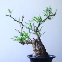 オペルクリカリア  パキプス     Operculicarya  pachypus   no.53114