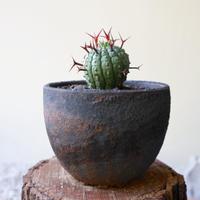 ユーフォルビア 群星冠     no.009   Euphorbia   stellispina