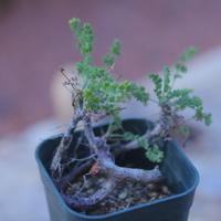 ペラルゴニム   アルテルナンス   Pelargonium alternans      no.20726-2