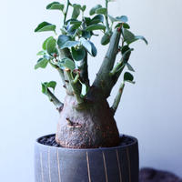 アデニア   スピノーサ   Adenia     spinosa    no.61626