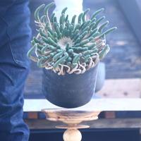ユーフォルビア エスクレンタ   Euphorbia esculenta     no.22807