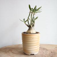 パキポディウム  サキュレンタム    no.001    Pachypodium succulentum
