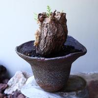 ペラルゴニウム  トリステ    Pelargonium triste   no.60230