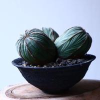 ユーフォルビア  オベサ  トリプルヘッド  Euphorbia obesa   no.20314