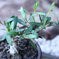 フォークイエリア  コルムナリス  観峰玉 Fouquieria columnari   no.102701
