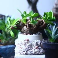 ユーフォルビア    イトレメンシス    Euphorbia itremensi  no.61413