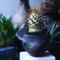 パキポディウム   ナマクアナム  光堂  Pachypodium namaquanum  no.61419