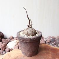 ディオスコレア   亀甲竜   no.016   Dioscorea elephantipe