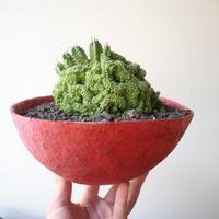 ユーフォルビア  エノプラ   紅彩閣  綴化    no.001   Euphorbia enopla   f. monstruosus