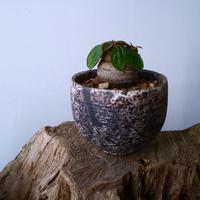 ユーフォルビア エクロニー Euphorbia ecklonii  鬼笑い  No.025