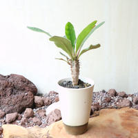 ユーフォルビア   イハラナエ  no.003  Euphorbia iharanae