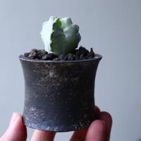 ホワイトスロアネア  クラサ   Whitesloanea crassa   no.90131