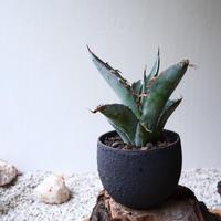 アガベ チタノタ(ランチョタンバー)   no.001   agave titanota