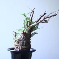 オペルクリカリア  パキプス     Operculicarya  pachypus   no.53112