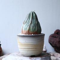 ユーフォルビア  オベサ  Euphorbia obesa no.90812