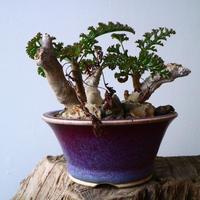 ペラルゴニウム   カルノーサム   Pelargonium carnosum  No.010