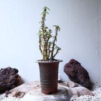 ドルステニア ヒルデブランドティ Dorstenia hildebrandtii no.91510