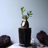 パキポディウム ビスピノーサム    Pachypodium bispinosum   no.90112