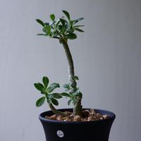 ドルステニア    ギガス   Dorstenia gigas  no.92311
