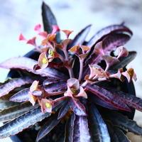ユーフォルビア  フランコイシー   Euphorbia francoisii   no.110810