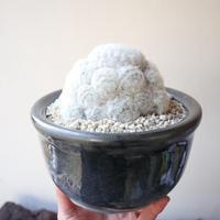 マミラリア 白星   no.001   Mammillaria plumosa