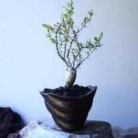 フォークイエリア  コルムナリス  観峰玉 Fouquieria columnari   no.52610