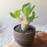 パキポディウム  ブレビカウレ  恵比寿笑い  no.008 Pachypodium brevicle 接木