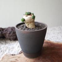 ユーフォルビア グロボーサ    Euphorbia globosa   no.81214