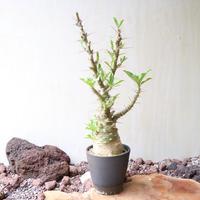 パキポディウム  サンデルシー   no.012  Pachypodium saundersii