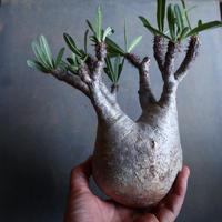 パキポディウム グラキリス   Pachypodium rosulatum var. gracilius no.110331