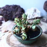 ユーフォルビア  トルチラマ  Euphorbia tortirama no.015
