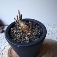 プテロカクタス ツベローサス   黒竜     Pterocactus tuberosus   no.42116