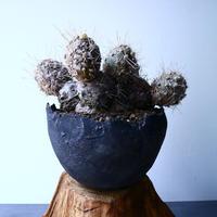 Tephorocactus kuehurichianus   No.042