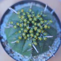 ユーフォルビア  バリダ  ♂    Euphorbia valida    no.20728