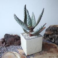アロエ    マルロシー   鬼切丸    no.003  Aloe marlothii