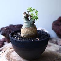 アデニア   グラウカ    Adenia glauca   no.016