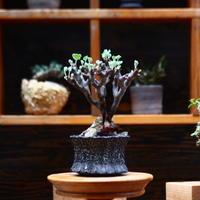 ペラルゴニム  ミラビレ/Pelargonium mirabile   no.91930