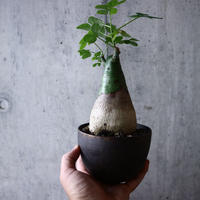 アデニア   グラウカ    Adenia glauca   no.018