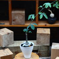 アデニア  グラウカ/Adenia glauca    no.82238