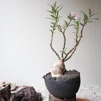 パキポディウム  サキュレンタム    no.008  Pachypodium succulentum