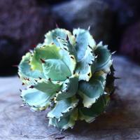 アガベ  兜蟹錦   抜苗 ①  Agave isthmensis Kabutogani variegated   no.42670 -1