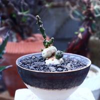 ユーフォルビア グロボーサ    Euphorbia globosa       no.42521