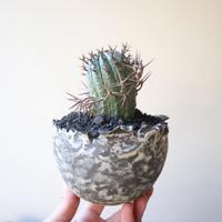 ユーフォルビア 群星冠     no.003   Euphorbia   stellispina