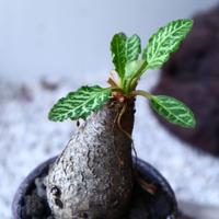 ユーフォルビア sp. フィッシュボーン   Euphorbia sp. nov. fishborn no.61622