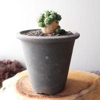 ユーフォルビア グロボーサ  no.012    Euphorbia globosa