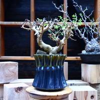 コミフォラ   ストックシアナ/Commiphora stocksiana  no.53043