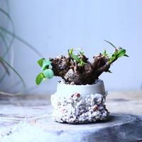 ユーフォルビア    イトレメンシス    Euphorbia itremensi  no.101832